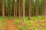 dense coniferous forest photographed in summer day