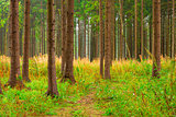 high trunks of coniferous trees and forest vegetation