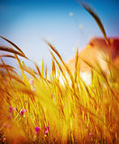 Autumn wheat field background