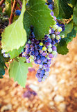 Purple grapes with green leaves