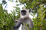 Gray langur in a tree.