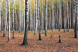 Birch trees in autumn forest in cloudy weather