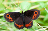 Woodland ringlet butterfly