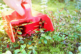 collecting berries in forest with comb picker