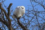 grumpy snowy owl