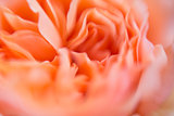 Blur background of david austin roses