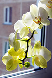 white orchid at the window