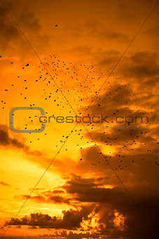 flocks of starlings flying into a beautiful yellow sunset sky