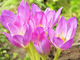 pink flowers of Colchicum autumnale