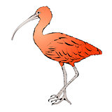 Eudocimus ruber or Red Ibis