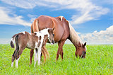 Brown white mare and foal with sky background