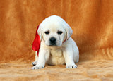 a yellow labrador puppy on orange background