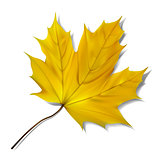 Yellow maple leaf on white background.