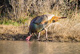 Texas Turkey Drinking