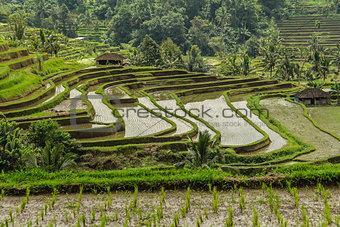 Rice terrases in Jatiluwih.