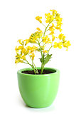 Rapeseed (Brassica napus) in pot