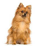 German Spitz sitting, 1 year old, isolated on white
