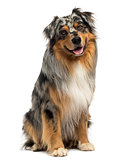 Australian shepherd blue merle sitting and panting, 4 years old,