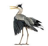 Rear view of an Grey Heron flapping its wings, screaming, Ardea