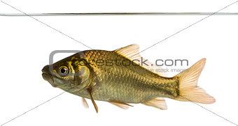Crucian carp swimming under water line, Carassius carassius, iso