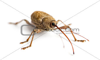 Acorn weevil, Curculio glandium, isolated on white