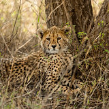 Close-up of a Young Cheetah, Serengeti, Tanzania