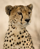Close-up of a Cheetah, Serengeti, Tanzania