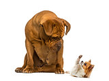 Dogue de Bordeaux sitting and looking at a Chihuahua in front of