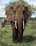Elephant facing, Serengeti, Tanzania