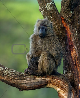 Baboon sitting on a branch, Serengeti, Tanzania