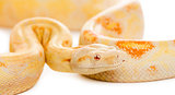 Close-up of an Albino royal python in front of a white backgroun