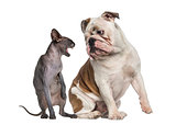 Sphynx hissing at an English Bulldog sitting in front of a white