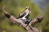 Booted eagle, Hieraaetus pennatus