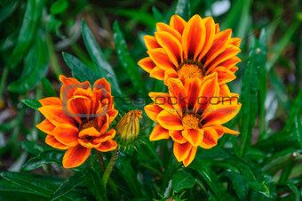 Beautiful orange and red flowers in macro