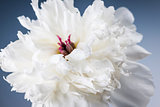 White peony flower close up