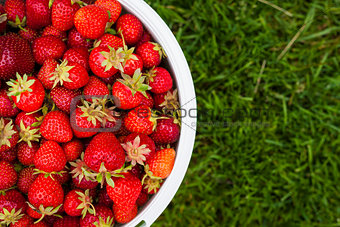 Pail of fresh strawberries on green grass