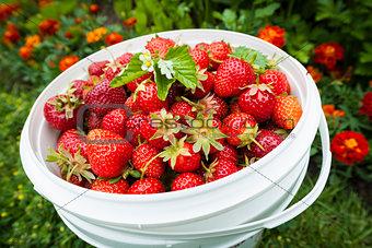 Pail of fresh strawberries in garden