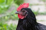 Black chicken head