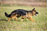 German long-haired shepherd dog running on green grass
