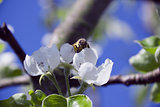 tree branch of Apple blossoms white flowers, a bee sitting on a