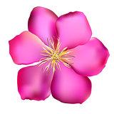 Pink Clematis Vector Illustration
