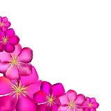 Pink Clematis Background Vector Illustration