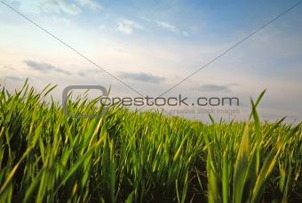 green grass, evening