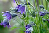 pasque-flower (Pulsatilla vulgaris), color