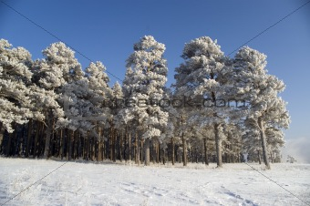 Snow winter trees.