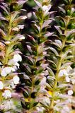 Acanthus Mollis plant