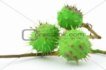 green chestnut on white