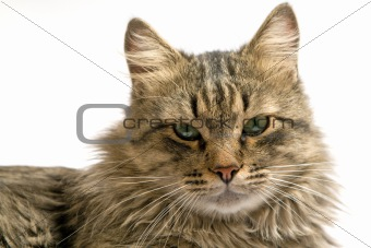 Portrait of a cat on a white background. isolated