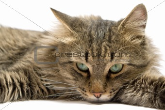 a lying cat on a white background. isolated