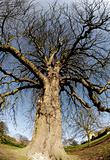 gnarled oak tree